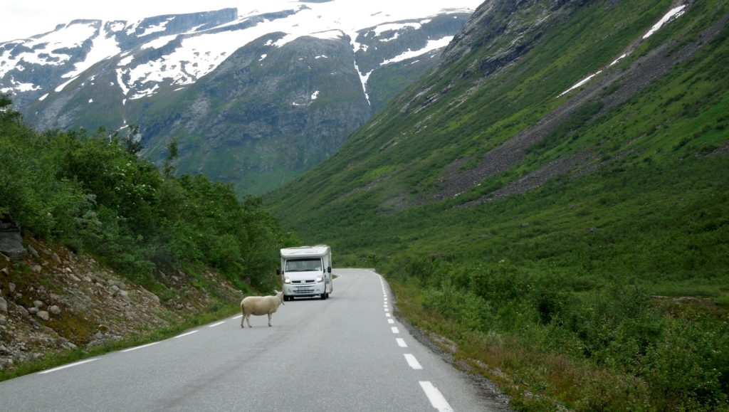 sheep in the road